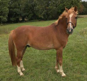 cheval Orée de LMjumping